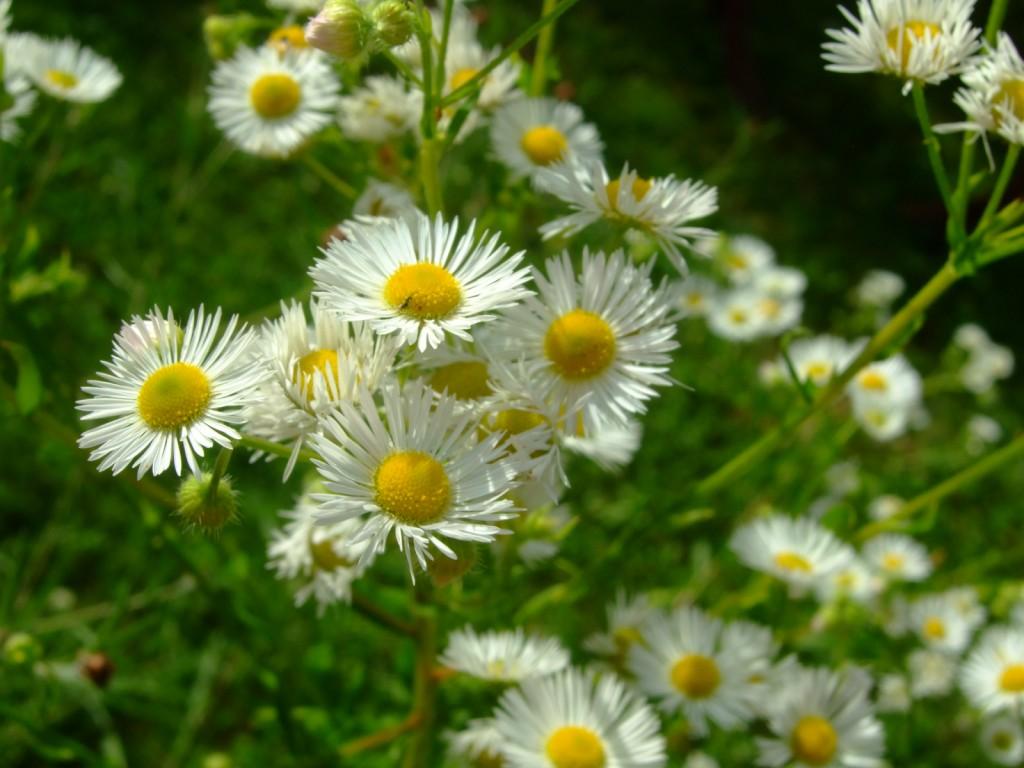 Vivaces lafleurite - Plantes vivaces fleuries ...